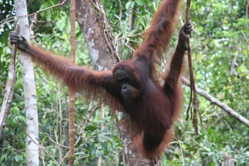 Kalimantan rain forest and orang utans