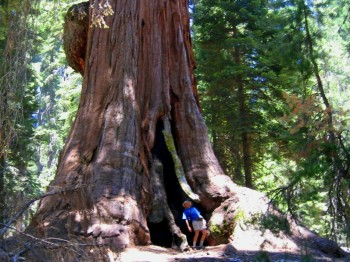 Giant Sequoia forest: searching for World's largest natural object