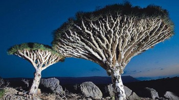 Dragons blood forests, Socotra Island, Yemen