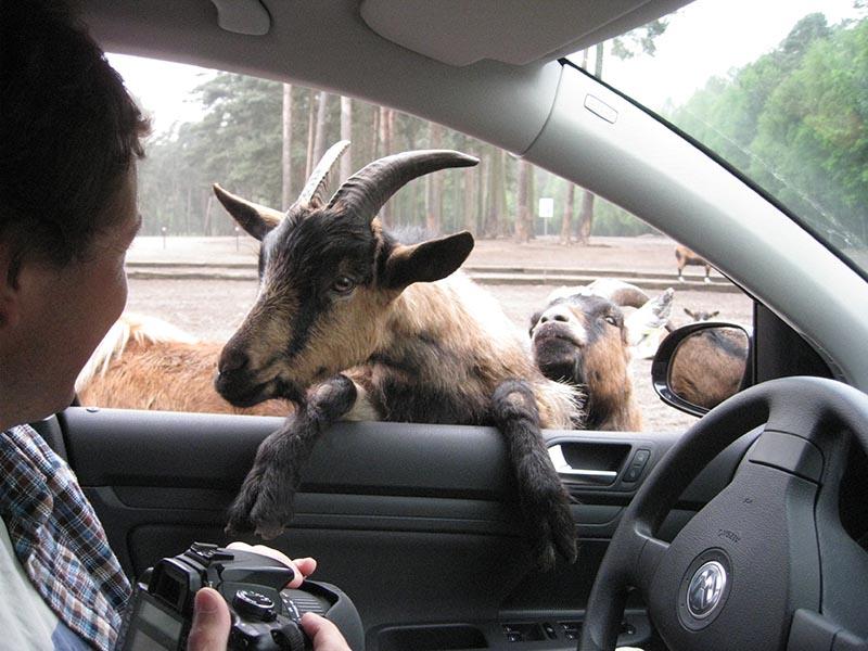 When Planets wildest animals walk around your car.. in Germany
